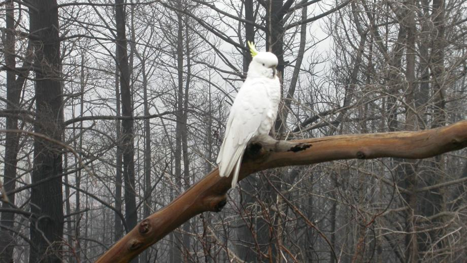 Cockatoo at Stromlo following 2003 fire (Mt Stromlo Archives)