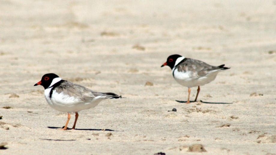 South coast shorebirds